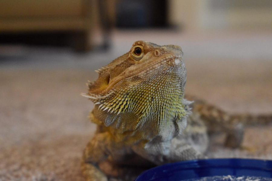 Nubz+the+Bearded+Dragon