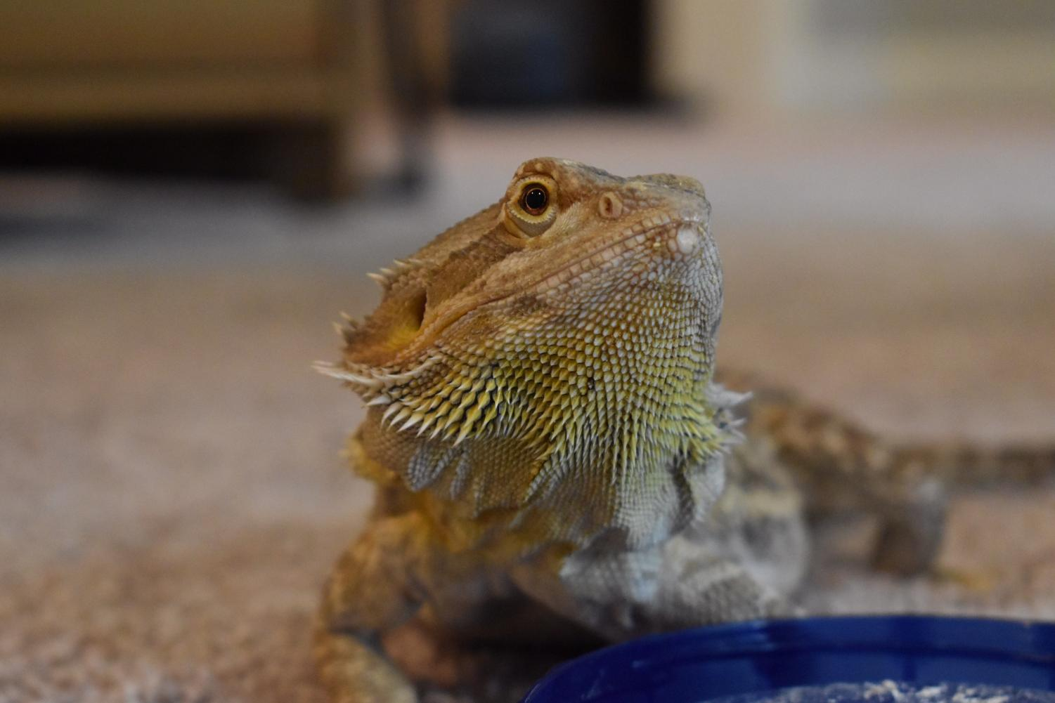 Nubz the Bearded Dragon